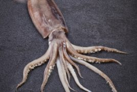 Whole Ilex Squid